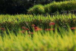 西予市城川町の秋の棚田の稲の写真素材 [FYI03878351]