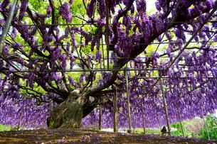 あしかがフラワーパークの藤の花の写真素材 [FYI03878480]