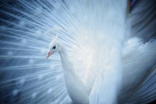 白孔雀の写真素材 [FYI03878502]