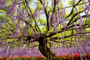 あしかがフラワーパークの藤の花の写真素材 [FYI03878504]