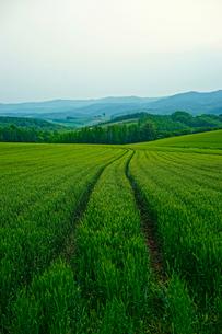 北海道美瑛の麦畑の写真素材 [FYI03878584]