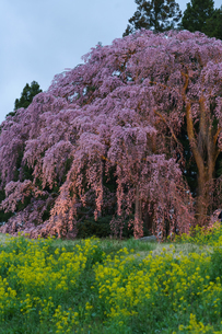 ライトアップされた合戦場の枝垂れ桜の写真素材 [FYI03878751]
