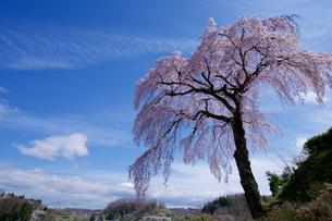 法蔵寺の枝垂れ桜の写真素材 [FYI03878800]