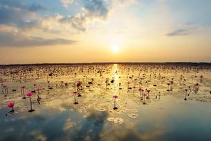 タイ 睡蓮の湖の写真素材 [FYI03878875]