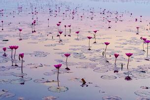 ビーナスベルトを映す睡蓮の湖の写真素材 [FYI03878878]