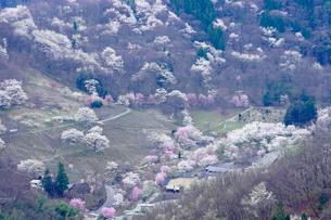 陸郷の山桜の写真素材 [FYI03878899]