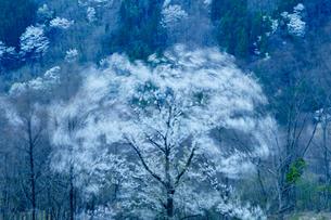 強風に揺れる桜仙峡の山桜の写真素材 [FYI03878900]