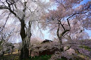 勝間薬師堂の枝垂れ桜の写真素材 [FYI03878911]