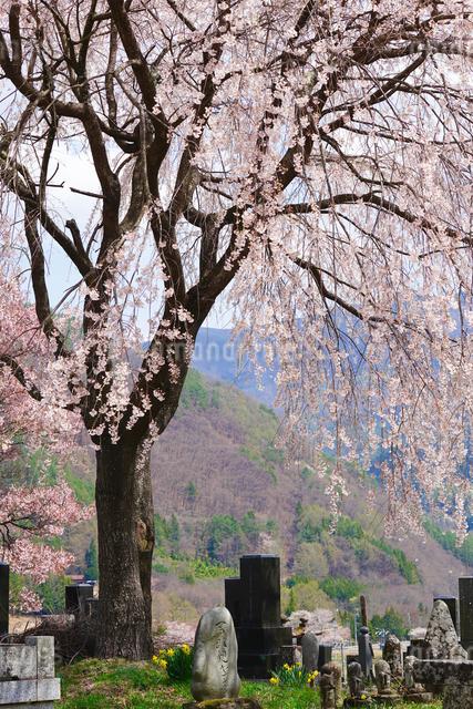 勝間の里で墓地を見守る枝垂れ桜の写真素材 [FYI03878924]