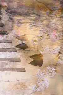 目黒川の桜と鴨の写真素材 [FYI03878933]