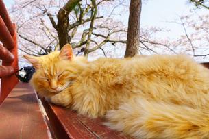 尾道の桜と猫の写真素材 [FYI03878940]
