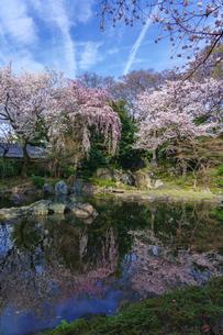 靖国神社の桜の写真素材 [FYI03878943]
