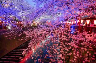 目黒川の桜のライトアップの写真素材 [FYI03878945]