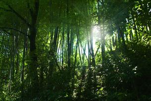 新緑の森林の木漏れ日イメージの写真素材 [FYI03880275]