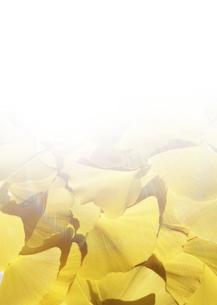 黄色く色づいたイチョウの葉の写真素材 [FYI03880352]