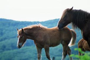 牧場の馬の群れの写真素材 [FYI03881403]