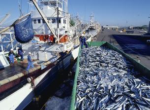 釧路港でのサンマ水揚げの写真素材 [FYI03881612]
