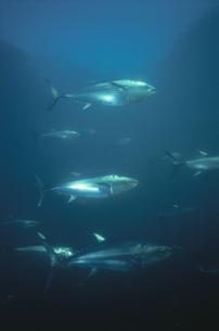 水中を泳ぐホンマグロの写真素材 [FYI03882014]