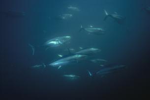 水中を泳ぐホンマグロの写真素材 [FYI03882017]