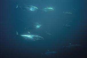 水中を泳ぐホンマグロの写真素材 [FYI03882018]
