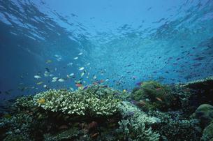 サンゴ礁を泳ぐ熱帯魚の写真素材 [FYI03882100]