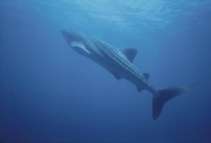 ジンベイザメの写真素材 [FYI03882182]