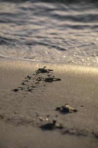 海に帰るカメの子供の写真素材 [FYI03882209]
