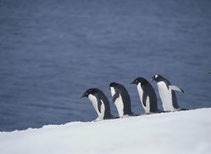 ペンギンの写真素材 [FYI03882242]