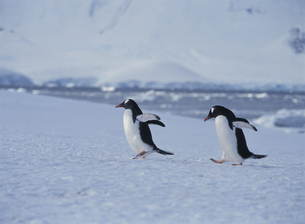 氷の上のペンギンの写真素材 [FYI03882258]