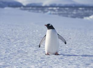 氷の上のペンギンの写真素材 [FYI03882260]