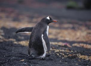 ゼンツーペンギンの写真素材 [FYI03882272]