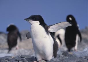 ペンギンの子供の写真素材 [FYI03882278]