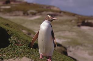 キガシラペンギンの写真素材 [FYI03882282]