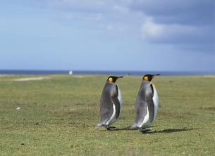 キングペンギンの写真素材 [FYI03882284]