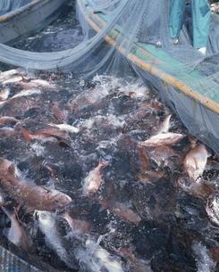 マダイ追い込み漁の写真素材 [FYI03882304]