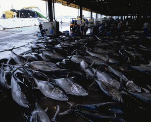 魚市場に並んだマグロの写真素材 [FYI03882306]