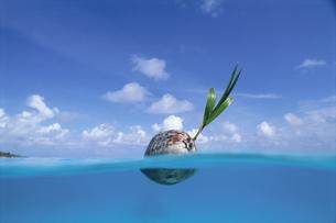 海面に浮いたヤシの実の写真素材 [FYI03882419]