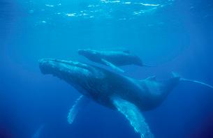 ザトウクジラの親子の写真素材 [FYI03882792]