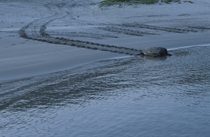 産卵後、海へ帰るアオウミガメの写真素材 [FYI03882799]