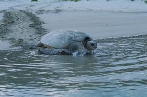 産卵後、海へ帰るアオウミガメの写真素材 [FYI03882801]