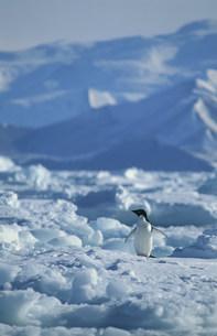 氷の上のアデリーペンギンの写真素材 [FYI03882818]