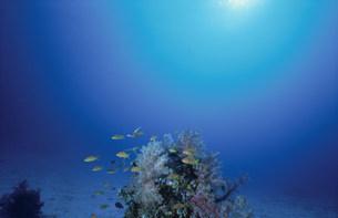海中のウミトサカとハナダイの写真素材 [FYI03882866]