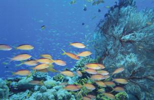 海中のハナゴイとイソバナの写真素材 [FYI03882867]