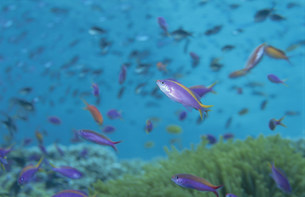 海中のハナゴイとイソバとサンゴの写真素材 [FYI03882870]