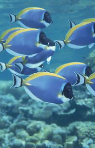 海中のパウダーブルーサージョンフィッシュの写真素材 [FYI03882872]
