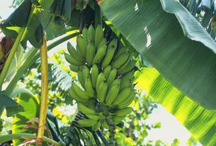 バナナの写真素材 [FYI03882964]