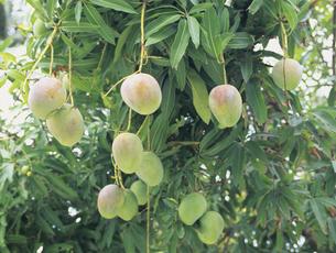 木になるマンゴーの写真素材 [FYI03883036]