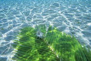 水中のヤシの葉とホネガイの写真素材 [FYI03883157]
