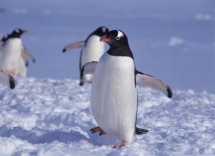 ゼンツーペンギンの写真素材 [FYI03883384]