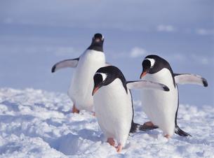 ゼンツーペンギンの写真素材 [FYI03883387]